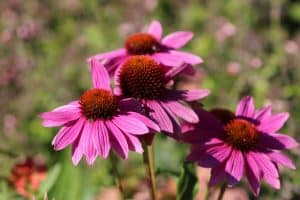 attract birds with coneflowers
