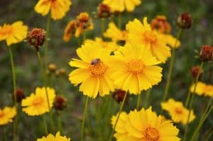 attract birds with coreopsis