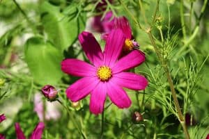 attract birds with cosmos flower