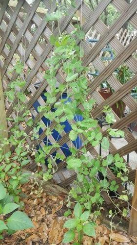 Kitchen Garden Peas