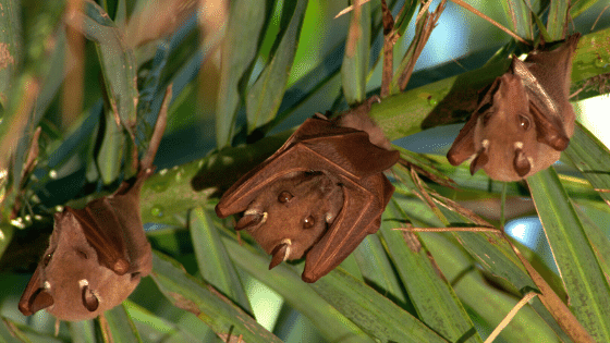 pollination being done by bats