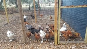 homestead burnout-chicken coop