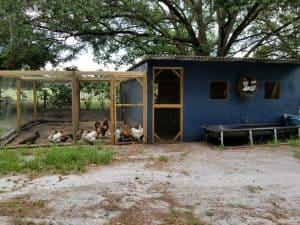 homestead burnout feeding chickens