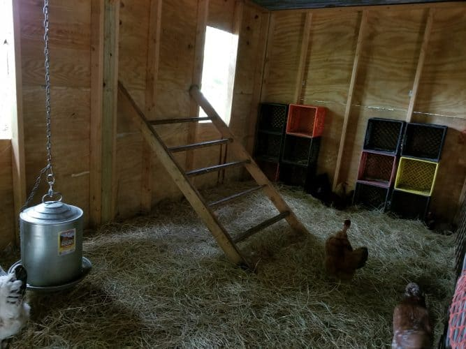 clean coop with new bedding.