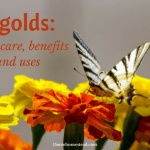 Marigolds: Their Care, Benefits and Uses