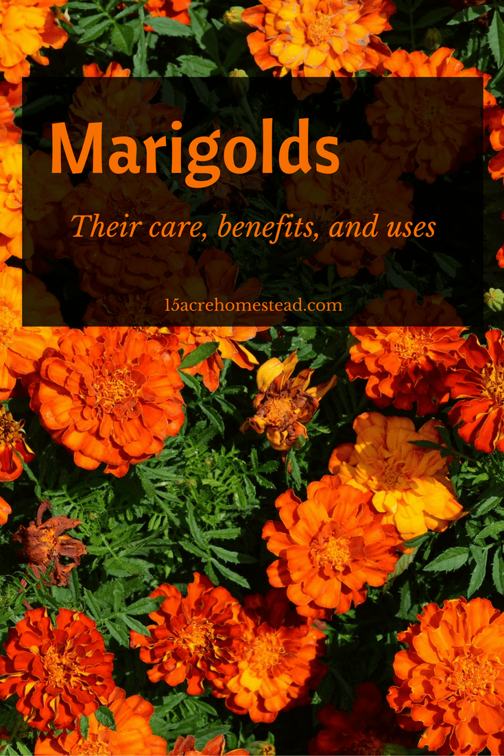 Marigolds are such a versatile plant and how so many uses in the garden.