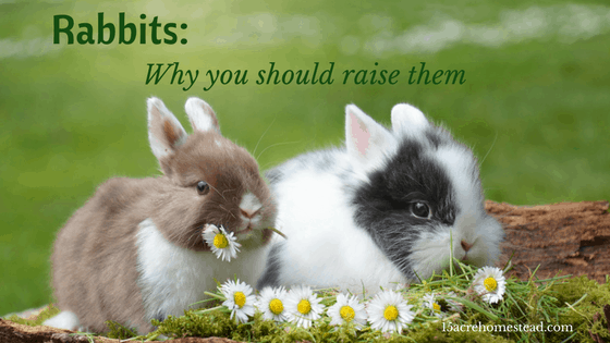 Rabbits: Why You Should Raise Them