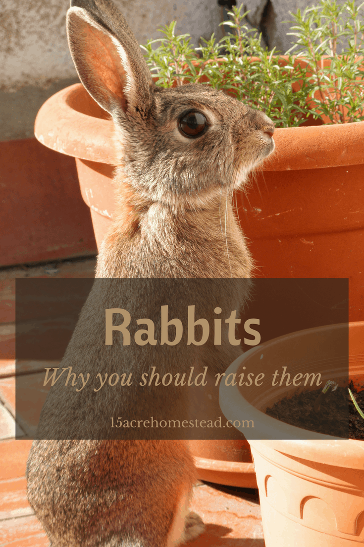 Why you should raise rabbits.