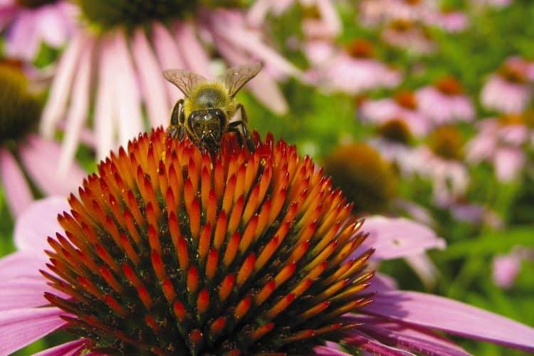 Echinacea flowers help in attracting bees.