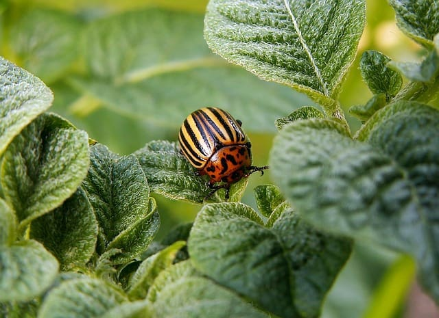 potato beetle on a potato plant