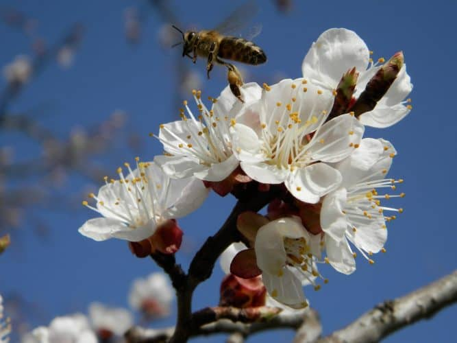 bee pollinating an apricot tree