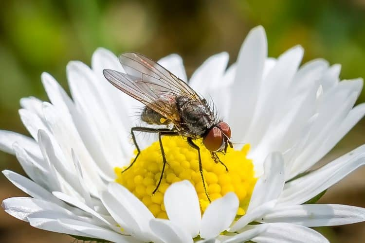 fly-natural-pest-control