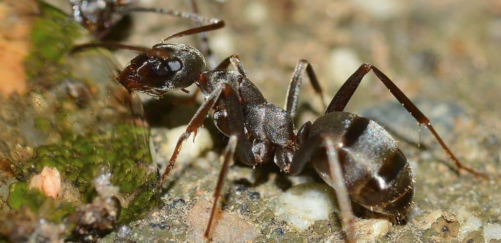 ants-natural-pest-control