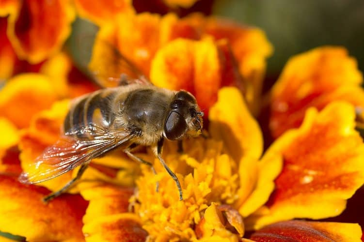 marigolds-bees