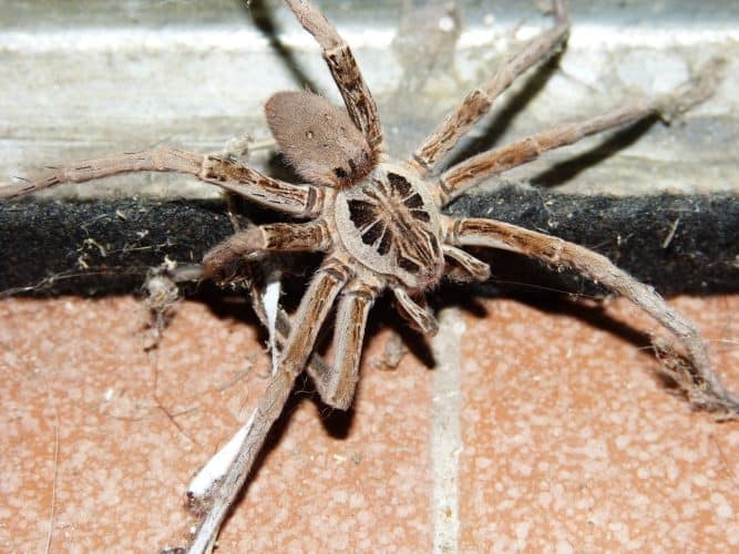 wolf-spider-natural-pest-control