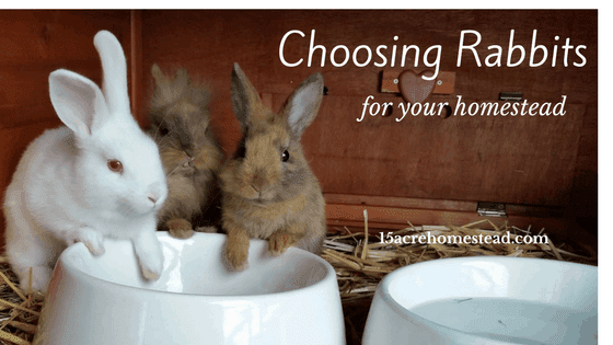 Choosing rabbits for the homestead
