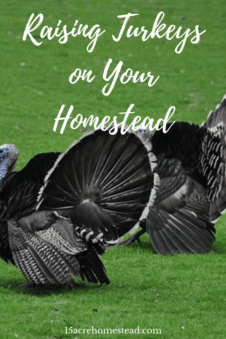 Raising turkeys on the homestead can be a rewarding experience. However, it is always best to learn the most you can about any animal before rushing out to get a flock of turkeys. Learn all you need to know here.