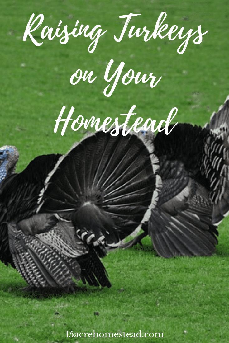 72e04332a0 Raising turkeys on the homestead can be a rewarding experience. However