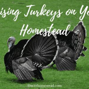 Raising Turkeys on Your Homestead