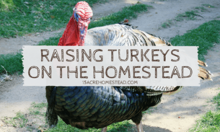 Raising Turkeys on Your Homestead