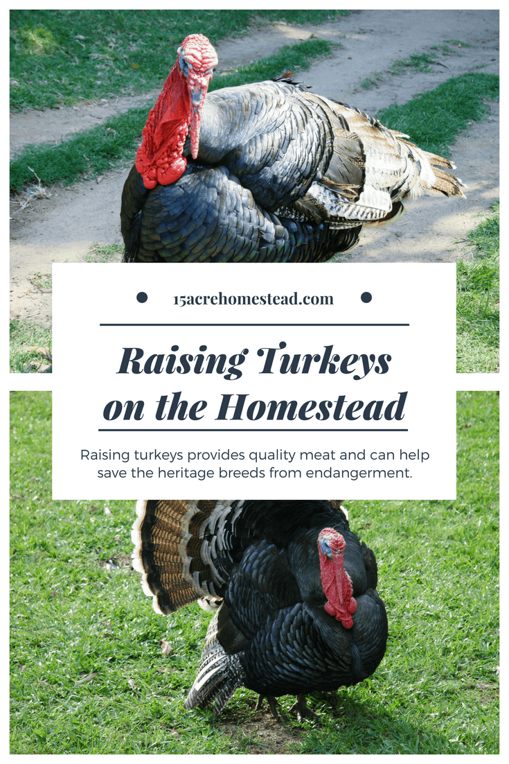 Raising turkeys on the homestead can provide quality meat and save the heritage breeds from the endangered list too!