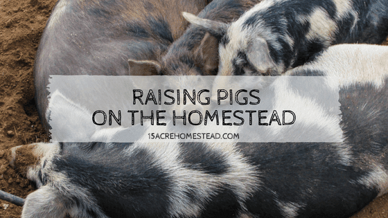 Raising Pigs on the Homestead