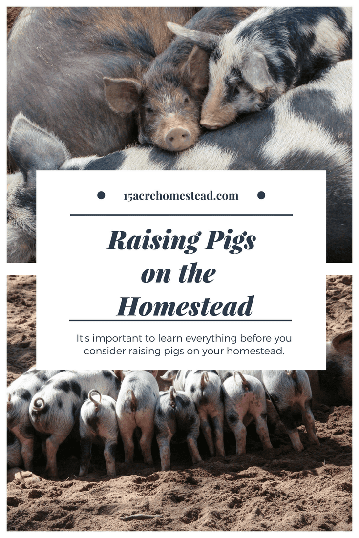 Raising pigs on the homestead can be a rewarding experience if you educate yourself first.
