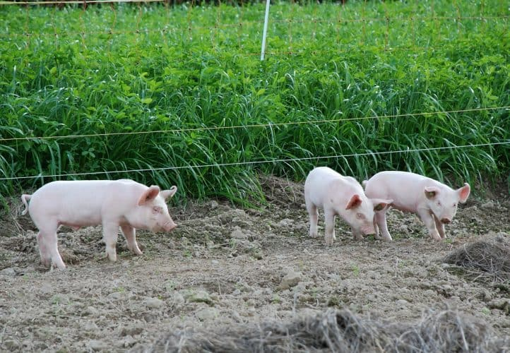 raising pigs: electric fencing