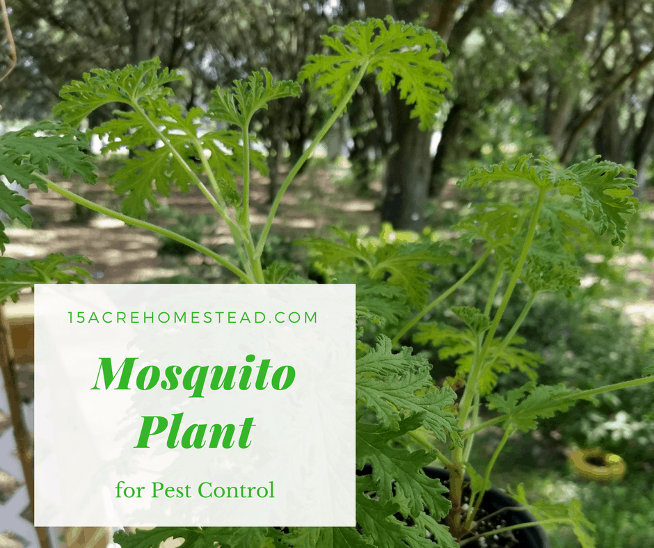 The Mosquito Plant For Pest Control 15 Acre Homestead