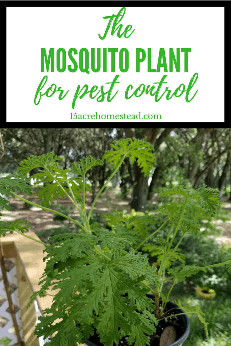 The Mosquito Plant is great for controlling mosquitos around your outdoor space.