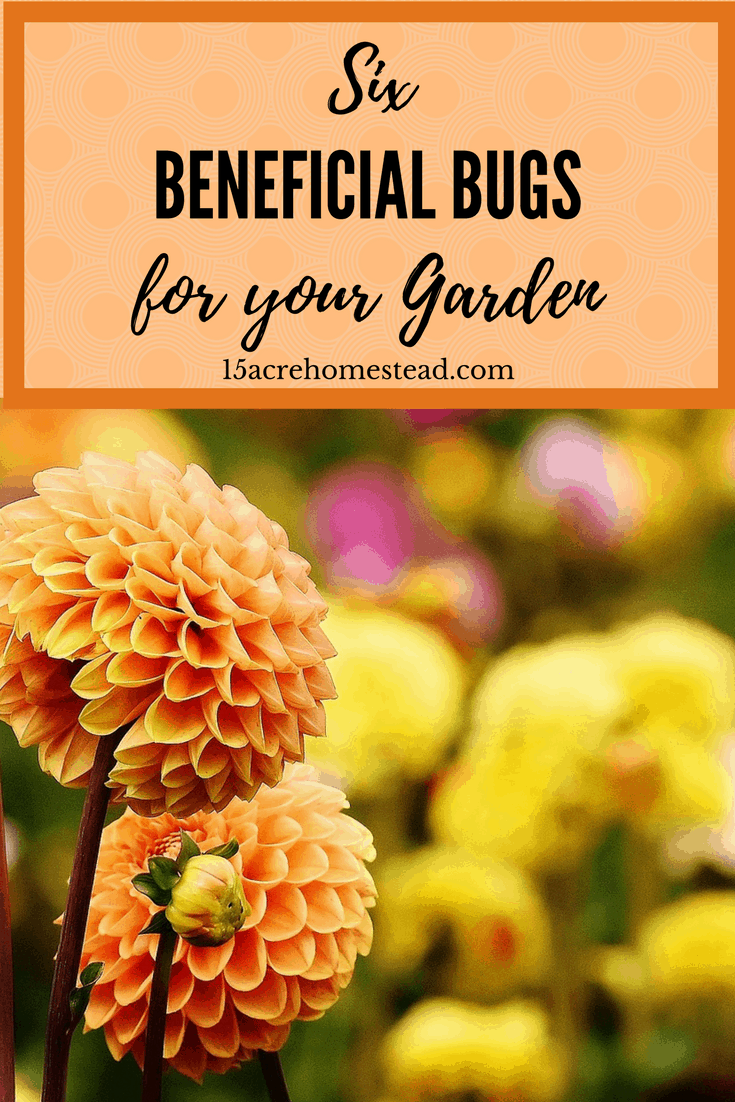 There are certain beneficial bugs for your garden that you need to attract.