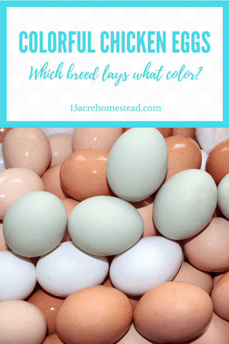 Find out which breed of chicken lays which color and learn how colorful chicken eggs actually happen.