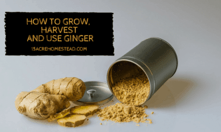 How to Grow, Harvest, and Use Ginger