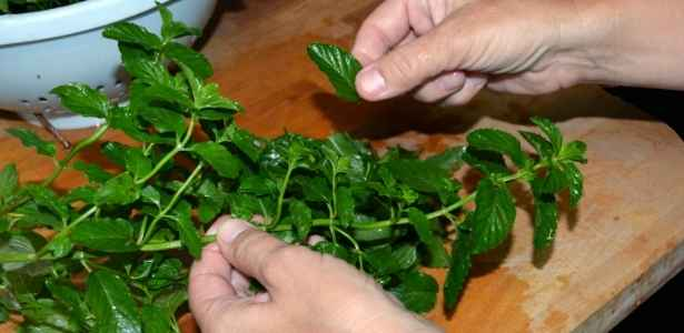Picking leaves from mint cuttings