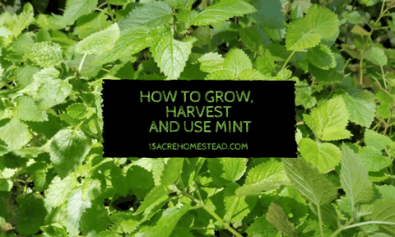 How to Grow, Harvest, and Use Mint