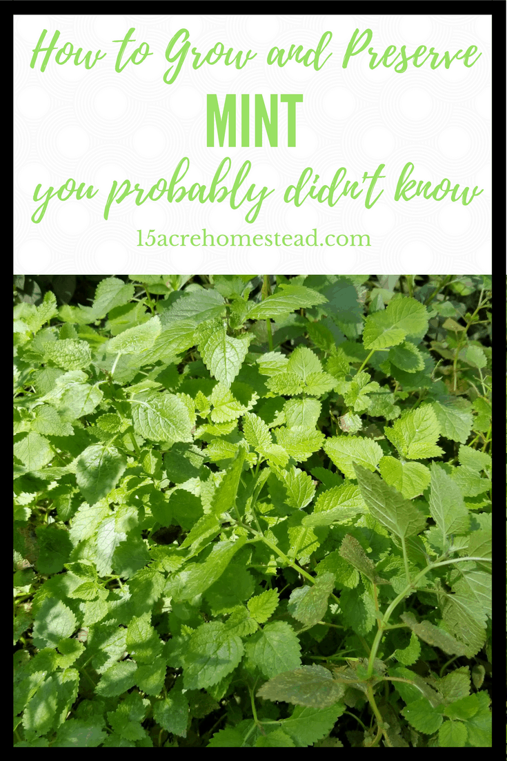 Mint has become more popular in the herb garden. It is easily grown, easily harvested and has a variety of uses with both food and medicines.
