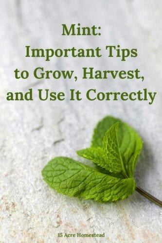 Learn everything you need to know to start growing Mint on your homestead today!