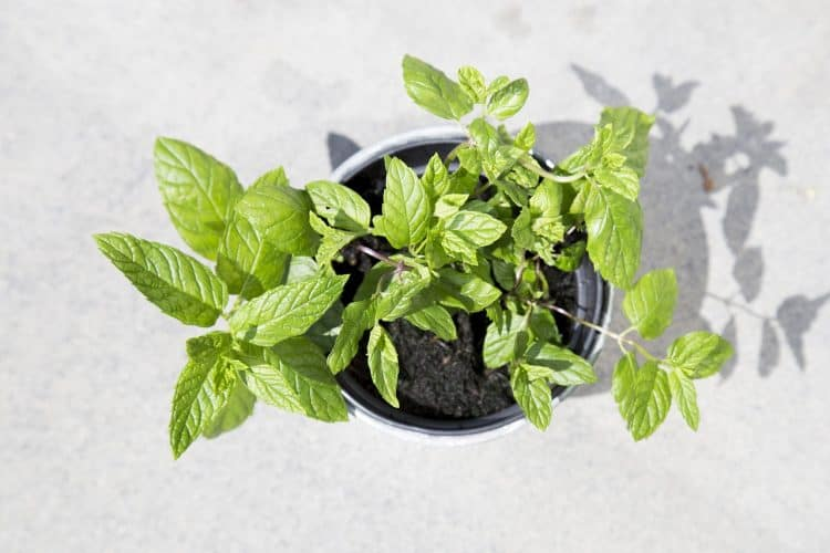 Mint is such a versatile plant. It is used for medicine and in foods and drinks.