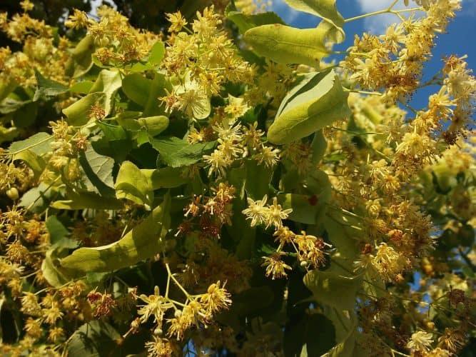 Natural Remedies: Linden Flower