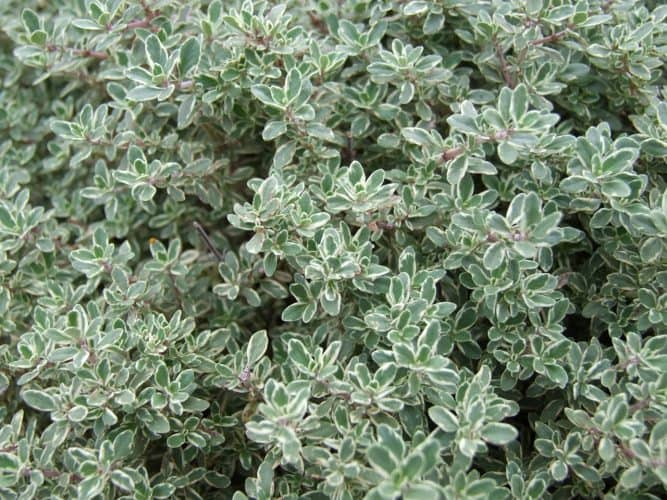 Natural Remedies: Thyme