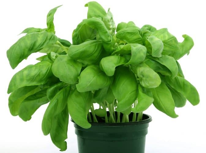 Oregano is one of the easy herbs to grow indoors that provides a continuous harvest year round.