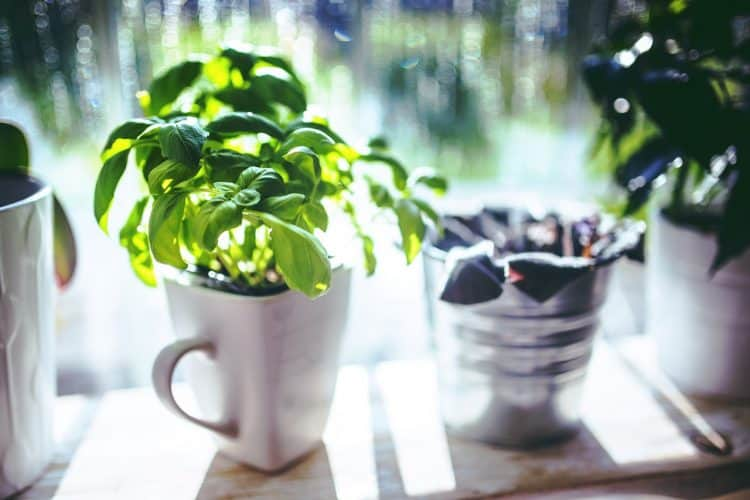 Basil is one of the easy herbs to grow indoors year round and provides an excellent harvest.