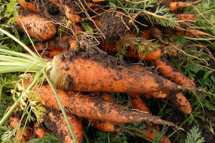 Carrots are one of the many vegetables that can grow easily indoors. No more outdoor garden is needed to grow fresh vegetables.