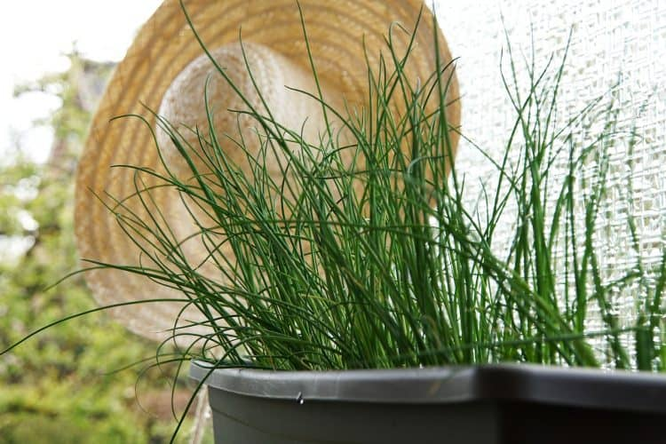 Chives is one of the easy herbs to grow indoors that provide a continuous harvest year round.