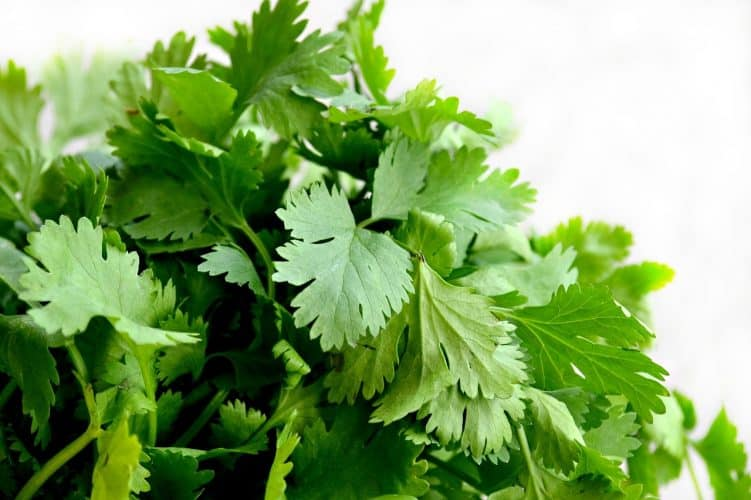 Cilantro is one of the easy herbs to grow indoors that provide a continuous harvest year round.