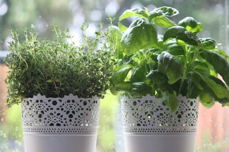 Thyme is one of the easy herbs to grow indoors. It can provide a year round harvest.