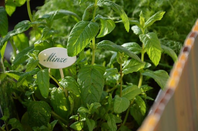 Mint is one of the easy herbs to grow indoors that provide a continuous harvest year round.