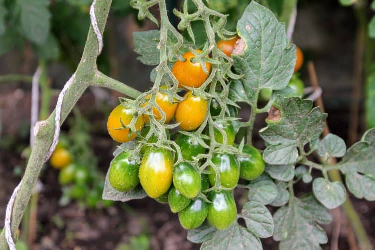 Tomatoes are a vegetable that can be grown indoors year round. Learn about 9 others that can be grown easily.