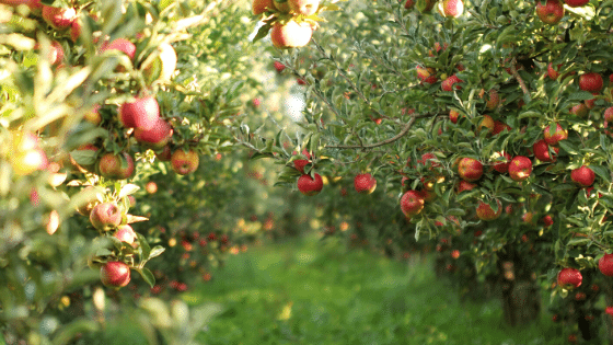 Having an apple orchard is a great way to plan a profitable first year homesteading