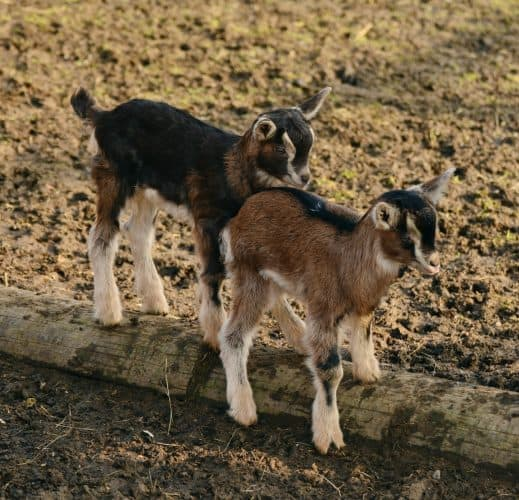 The sale of baby goats is an option for making money on the land your on.